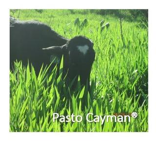 Pasto Cayman Hibrido De Semillas Papalotla 8 Kg