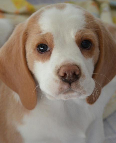 Cachorro Beagle Bicolor Y Tricolor Fca..viajamos A Caba..