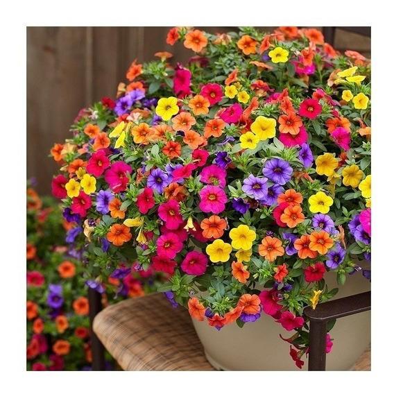 2000 Sementes Flor Petúnia Cores Mista