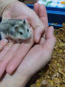 Dois Filhotes Hamster Anão Russo ( Comum )