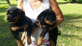 Filhotes De Rottweiler Rj Cabeça De Touro