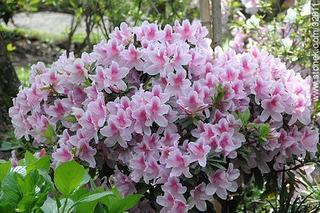 Azalea Blancas Simple O Semidoble - P/jardines Exteriores