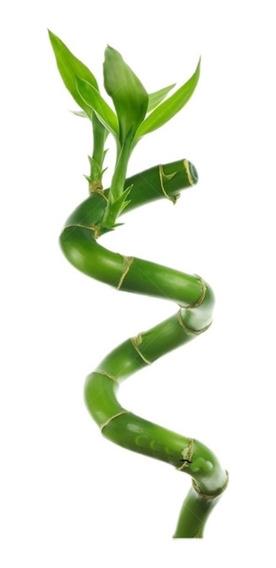 Lucky Bamboo Bambu De La Suerte Espiral 40 Cm 216.001001