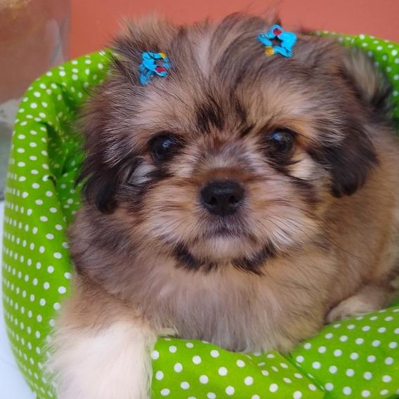 Shih Tzu Shitzu Shihtzu Machos Cachorros Miralos !!!
