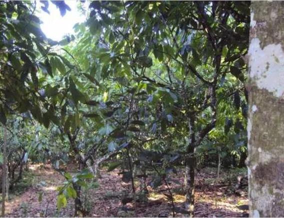 Finca De Cacao Híbrido En Yamasá.