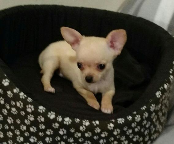 Chihuahua Blanco Manteca Mini Excelente Estructura