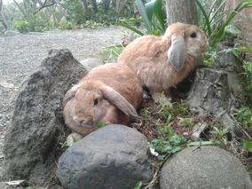 Pareja De Conejos Holandes Lop