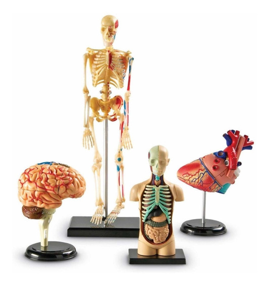 Modelos Anatómico Set 4 Corazón Cerebro Esqueleto B4u