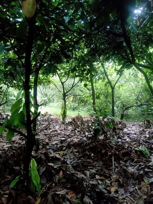 Casa Y Finca De Cacao De Campo En Venta Altamira, Puerto Plt
