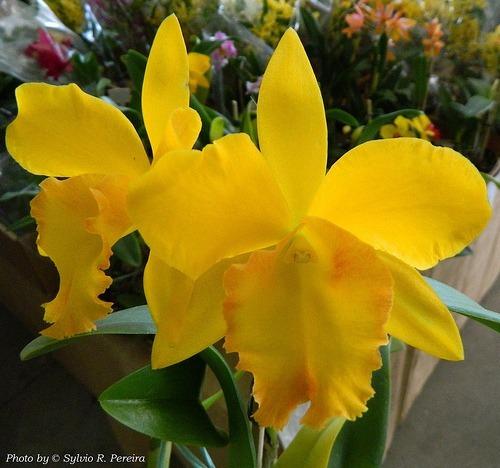 Orquídea Potinara 24 Karat Lea ( Adulta )
