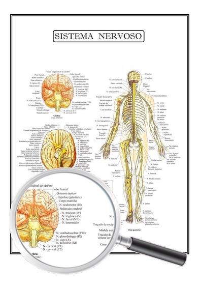 Poster Anatomia Humana Medicina Sistema Nervoso 45x60 Cm