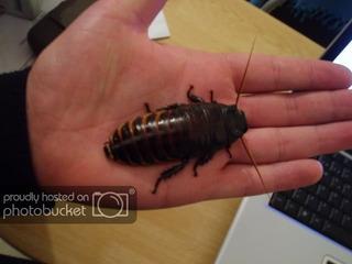 Cucarachas Madagascar (pareja) Alimento Vivo Mascota Exotico