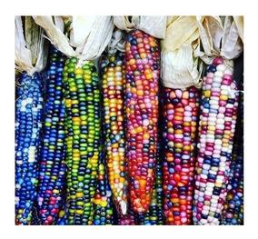 35 Sementes De Milho Colorido Multicolor P/ Mudas - Exótico