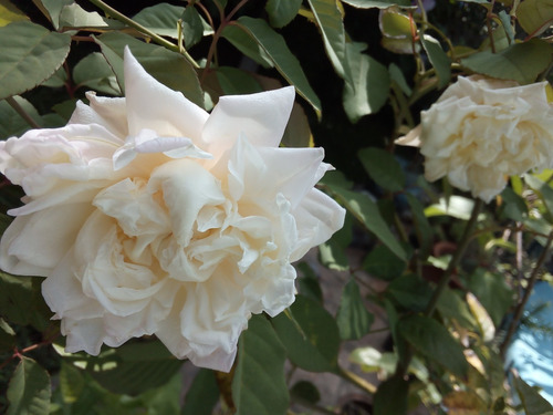 Planta Rosa Blanca