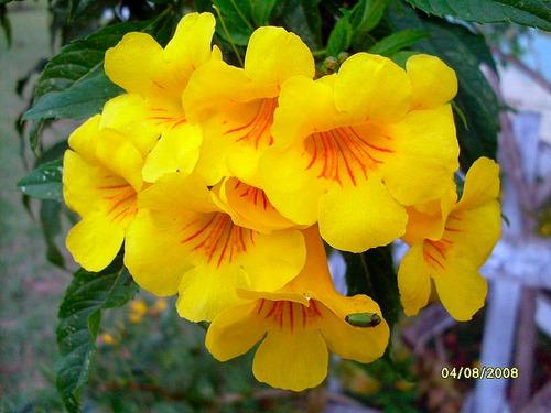 Ipê Mirim Anão De Jardim - Sementes Flor Para Mudas | Mercado Livre
