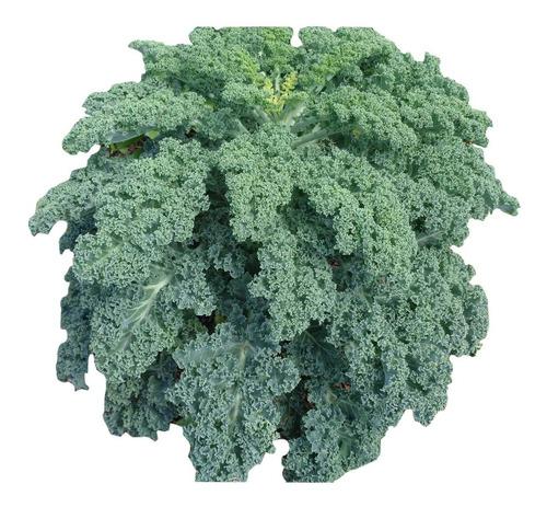 Imagem 1 de 10 de 100 Sementes De Couve Crespa Anã Kale