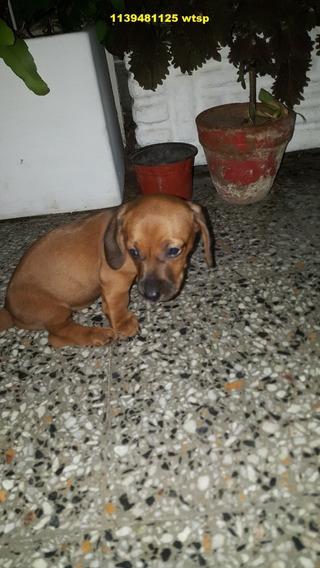 Cachorritos Salchicha Puros (dachshund)