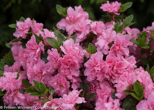 Imagen 1 de 2 de Azalea Doble ( Planta ) , Sol , Diferentes Colores