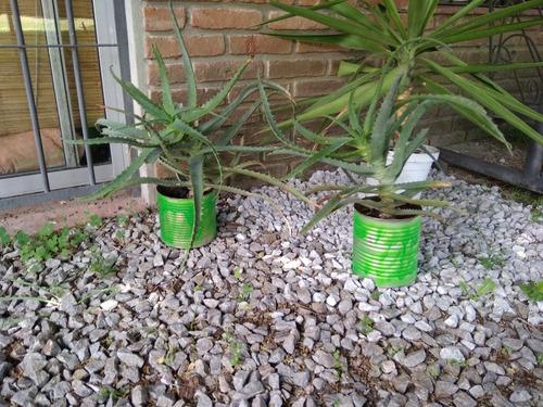 Imagen 1 de 1 de Planta Aloe Grande Con Plantin De Romero Gratis