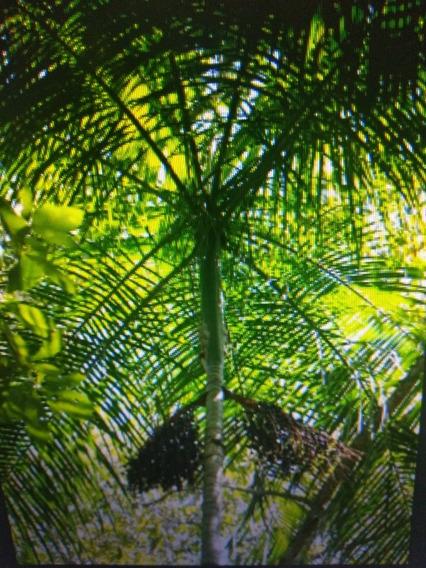 15 Mudas De Palmeira Jussara Com Frete Grátis