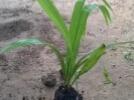 1 Muda Pronta Planta Da Palmeira Do Coco Babaçu(comestivel)