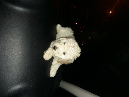 Vendo  Cães Poodle Micro Toy Vacina Vermífugo