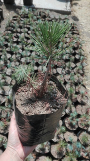 Pino Piñonero (pinus Cembroides)