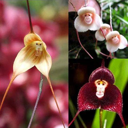 Kit 100 Sementes Raras - Orquídea Macaco Para Mudas