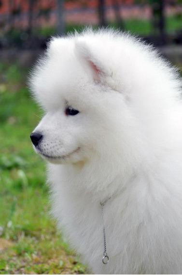 Samoyedo Reserva Cachorro Otoño 2020 Calidad +pedigrí + Ga