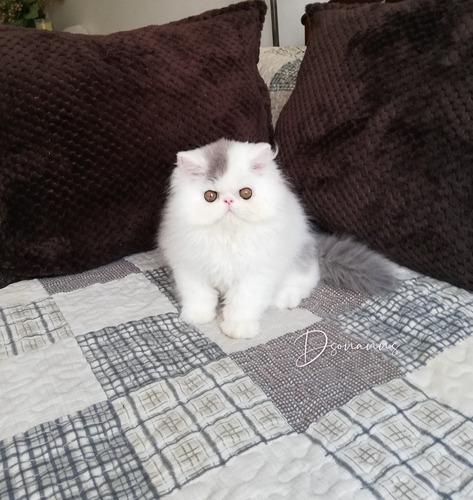 Gatos Persa Con Pedigree
