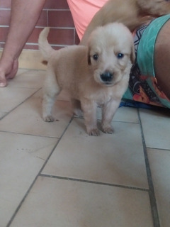 Cachorro Golden Retriver