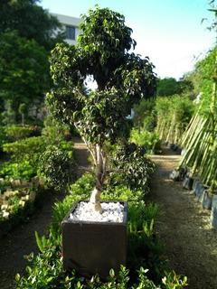 Ficus Decorativo En Maceteros De Fibra De Vidrio 1.50 Altura