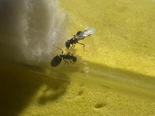 Hormiga Reina Solenopsis Con Huevos