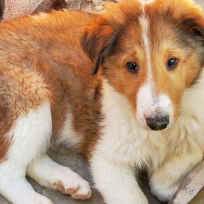Cachorros Collie Lassie Cachorros
