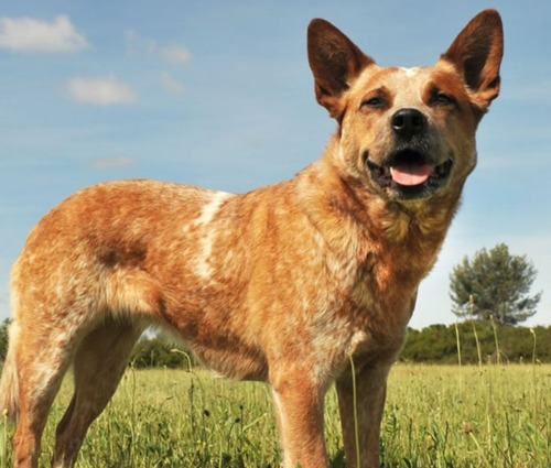 Imagen 1 de 2 de Cachorros Cruza Australian Catle Dog X Border Collie Blue