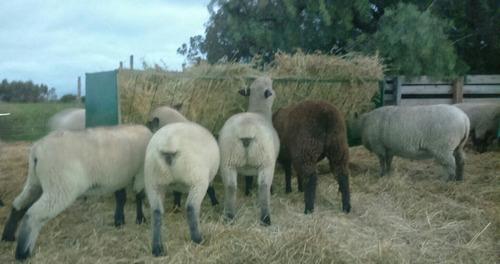 Comedero Ovino  Para Ovejas Cabras
