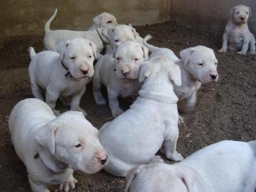 Se Vende Cachorros De Dogo Argentino Puro 45 Días De Nacidos