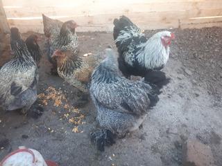 Huevos Fertilez De Gallinas Brahmas