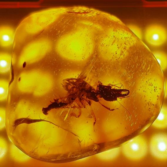 Auténtico Ámbar Chiapaneco Con Insecto Grande,único Extinto