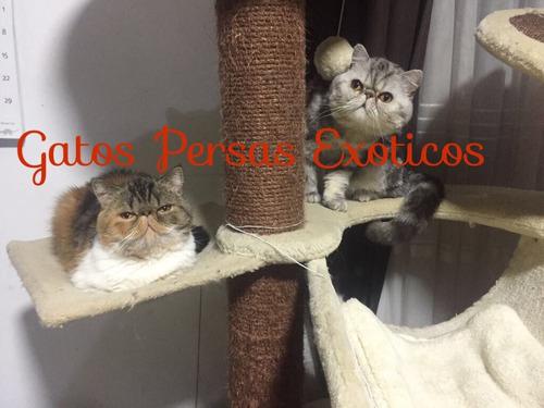 Gatos Persas Exoticos