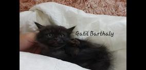 Munchkin Filhote Gato Anão Patinhas Curtas Ler Descrição