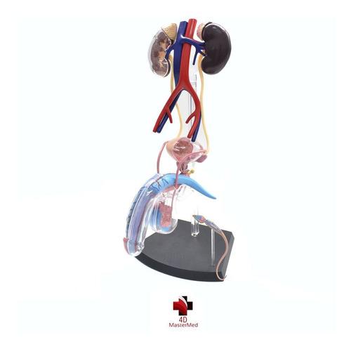 Modelo Corpo Humano - Órgão Reprodutor Masculino - 4d Master