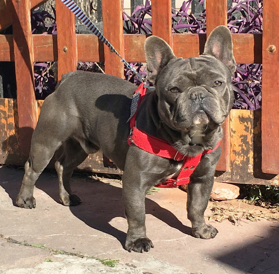 Muy Bello Bulldog Frances Blue Macho Novio Para Tu Perrita