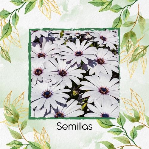 10 Semillas Flor Margarita Africana + Obsequio Germinación