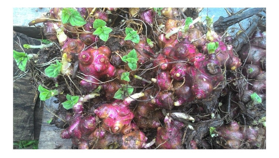 Yacon - 3 Rizomas - Cultivo Sem Agrotóxicos!