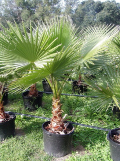 20 Semillas Frescas De Palma Mexicana (washingtonia Robusta)