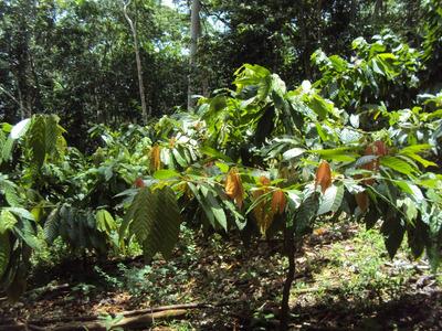 Vendo 5,400 Tareas De Cacao En Monte Plata