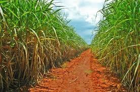 Fazenda Arrendada Em Cana Regiao De Conquista-mg (6042)