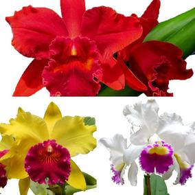 Kit 10 Mudas De Orquídea Cattleya Barata + Super Brinde