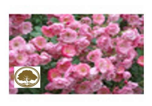 Imagen 1 de 2 de Rosa Enredadera Europea ( Planta )  Color Rosa  1.20m /